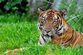 Космос помог Китаю сохранить редкий вид тигров