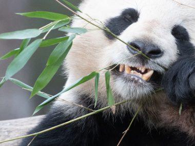 Китайский заповедник предупреждает об опасности милых панд