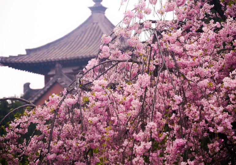 В Китае буйно зацвела сакура
