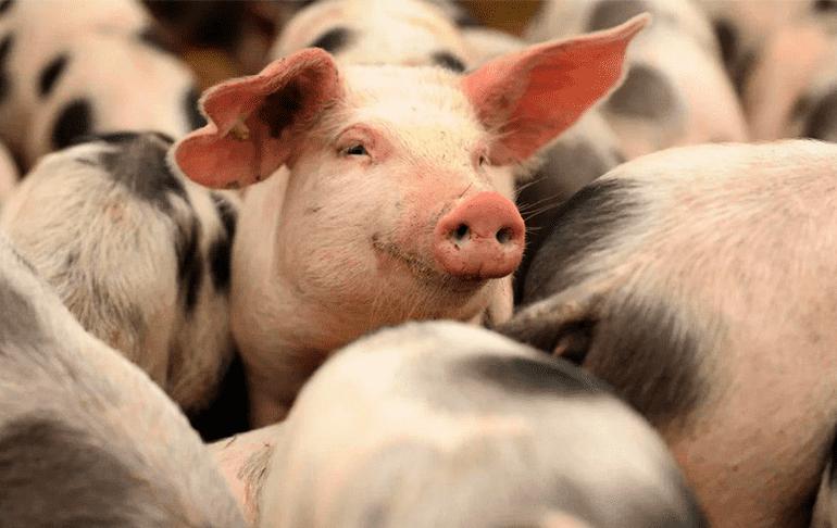 Китайские ученые выделили вирус африканской чумы свиней