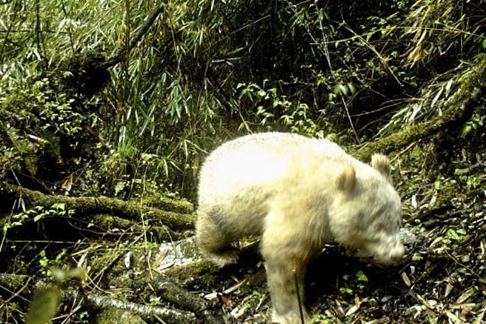 В Китае была обнаружена первая дикая панда-альбинос
