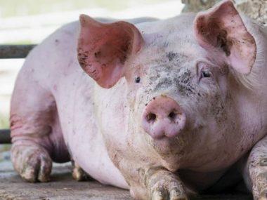 Китай в поиске новых поставщиков свиней