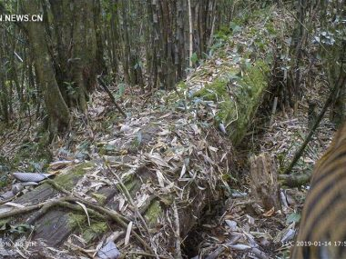 Дикие бенгальские тигры были зафиксированы в Юго-Западном Китае