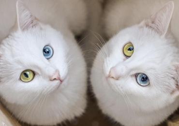 В Китае начнут продавать клонированных котов
