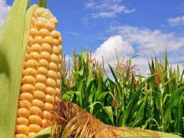 В Китае вывели новый сорт кукурузы с высоким содержанием фолиевой кислоты