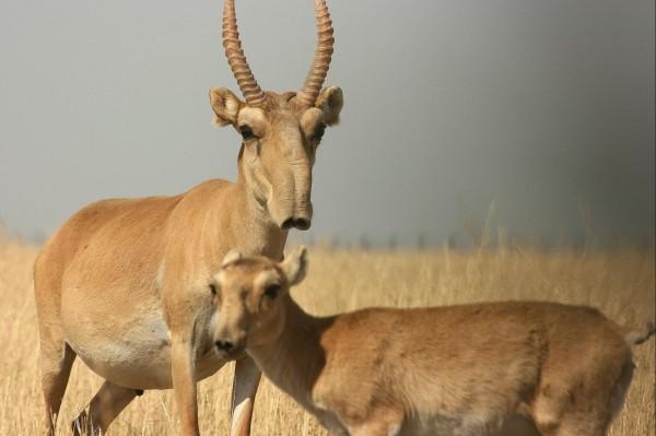 Украина согласовала ветеринарный сертификат для экспорта антилоп в Китай