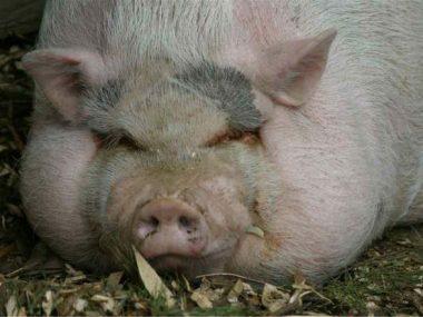 В Китае выращивают свиней размером с белых медведей
