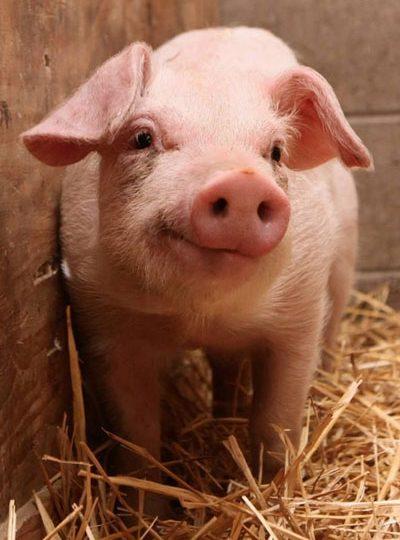 КНР признала свинину угрозой китайской экономике