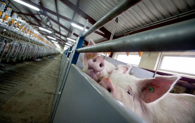 Украина не сможет договориться об экспорте свинины в Китай из-за отсутствия ветеринарного сертификата