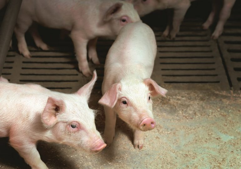 В Китае продолжают падать цены на свинину