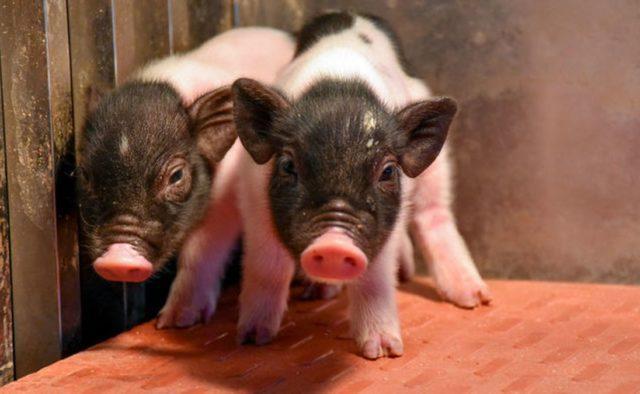 В Китае вывели генетически совместимых с людьми свиней