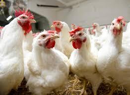 Украинская курятина поедет в Китай