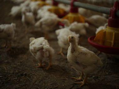 Китай введет запрет на импорт мяса птицы из Украины, Венгрии, Германии, Словении