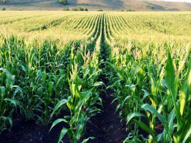 В рамках обязательств торгового соглашения Китай увеличил квоты на льготный импорт кукурузы и пшеницы в страну