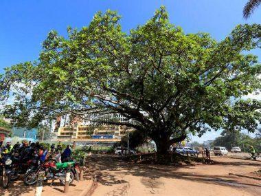 Президент Кении запретил китайской CRBC срубить уникальное дерево