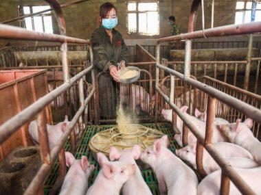 Huawei вынуждена заняться свиноводством из-за падения продаж смартфонов