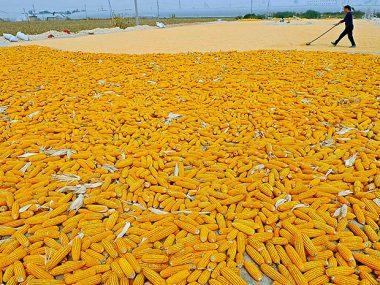Китайские импортёры закупили у США кукурузы на 850 млн долларов