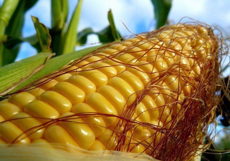 Импорт кукурузы Китая в марте 2021 г. на две трети состоит из украинского зерна