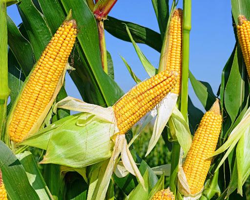 Китай в следующем сезоне нарастит производство кукурузы до уровня 271.8 млн тонн - прогноз CASDE